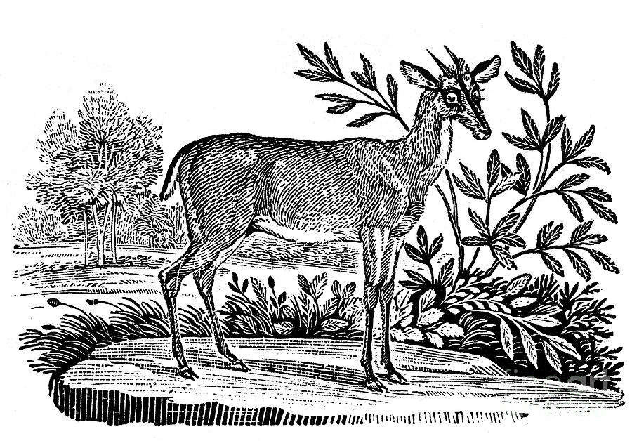 1824 Photograph - Red Deer by Granger