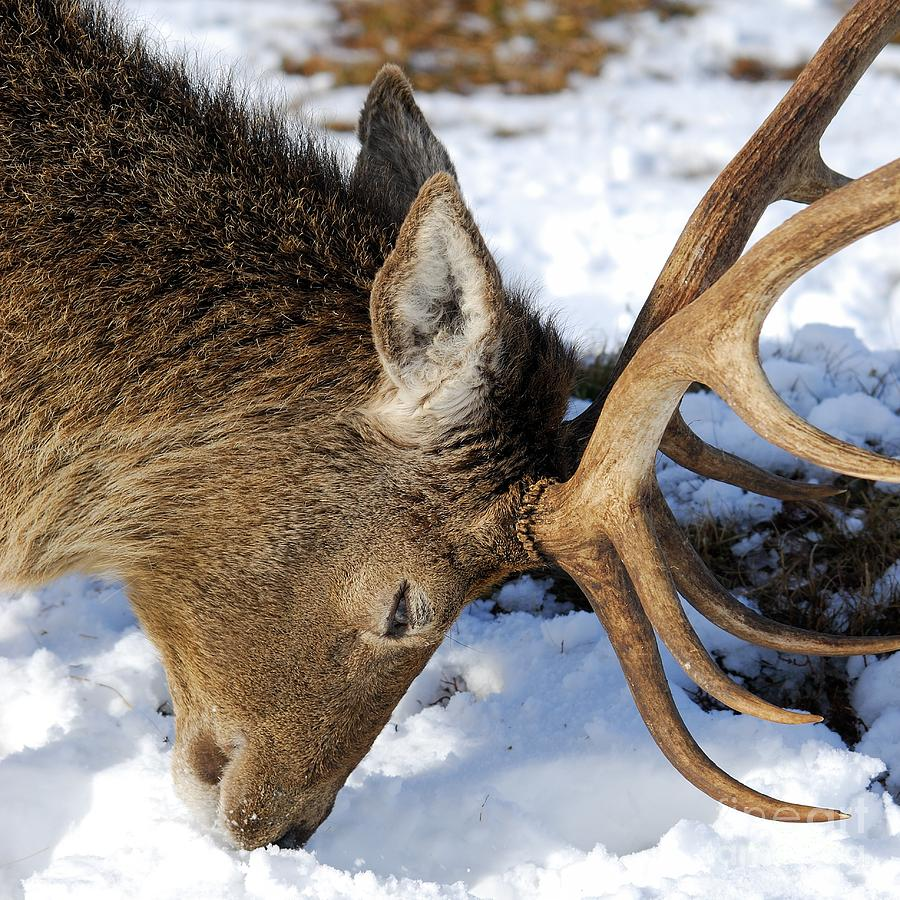 Red Deer Photograph - Red Deer Stag Forages For Food Closeup Portrait  by John Kelly