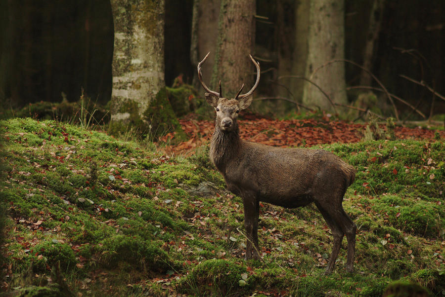 Red Deer Stag Photograph