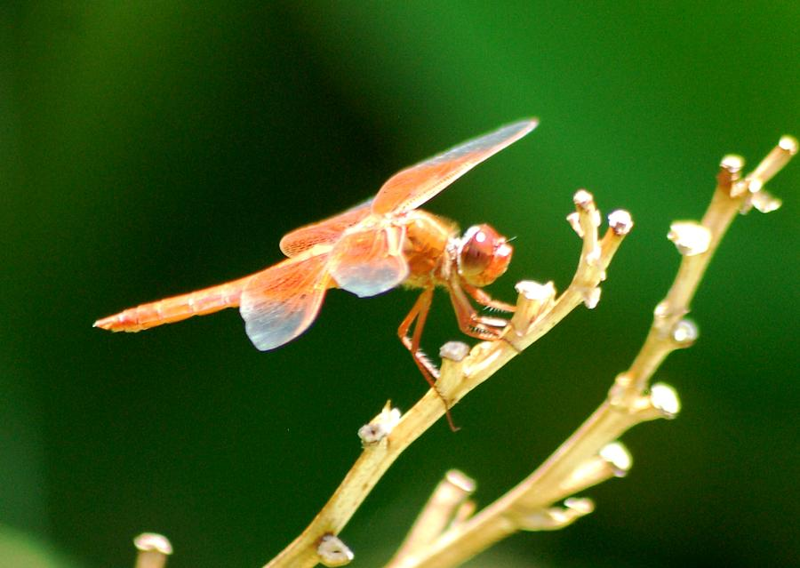 Red Dragonfly Photograph by Meeli Sonn