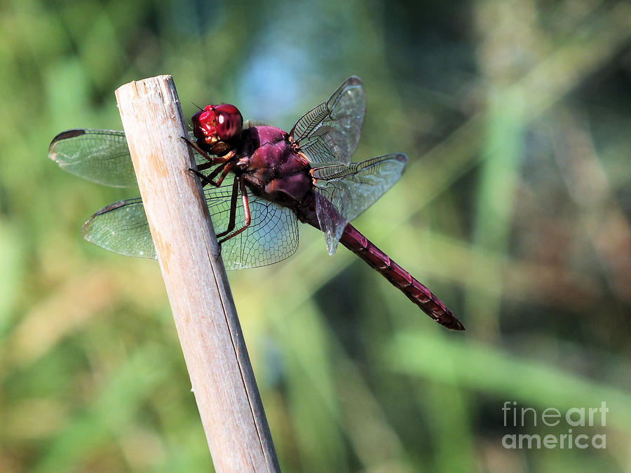 Red Dragonfly Photograph by Tammy Herrin