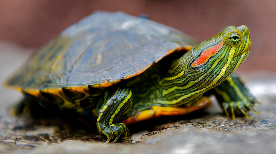 Red-eared Slider Photograph - Red Eared Slider Turtle Side View by Kelly Riccetti