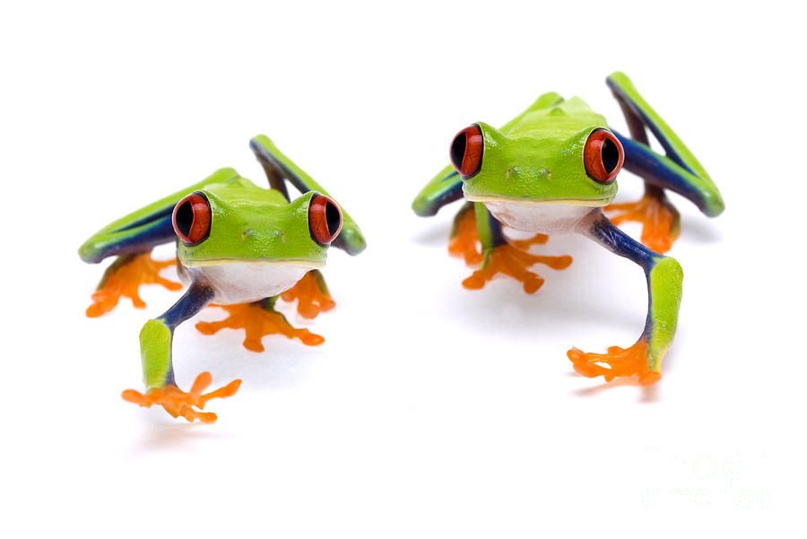 Red-eyed Tree Frog Photograph - Red-eyed Treefrogs Walking by Mark Bowler and Photo Researchers
