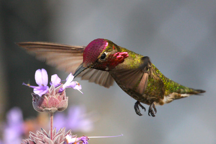 Hummingbird Photos Photograph - Red Face by Paul Marto