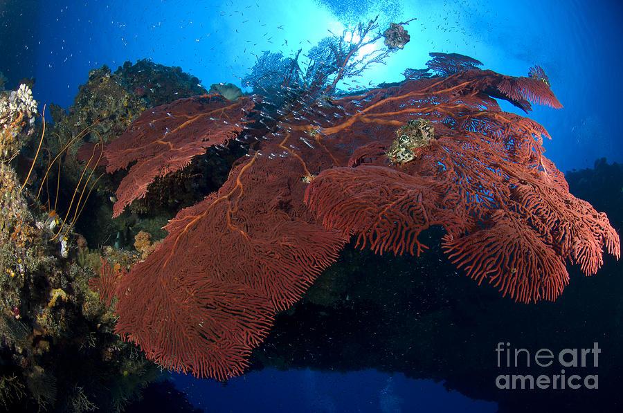 Anthozoa Photograph - Red Fan Cora With Sunburst, Papua New by Steve Jones