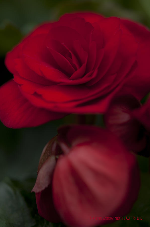 Flower Photograph - Red Flower by Kelvin Andow