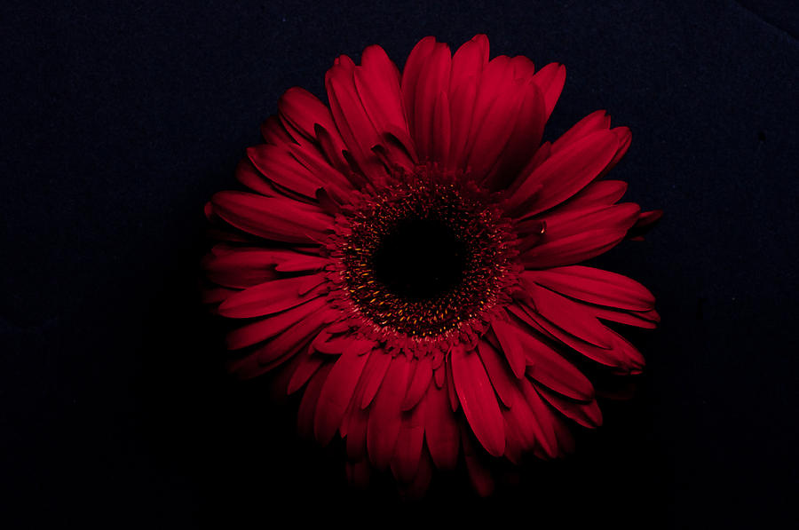 Flowers Photograph - Red Flower by Ron Smith
