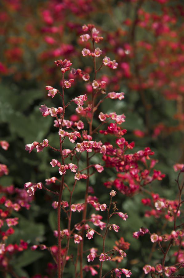 Small Flowers Photograph - Red Flowers by Svetlana Sewell