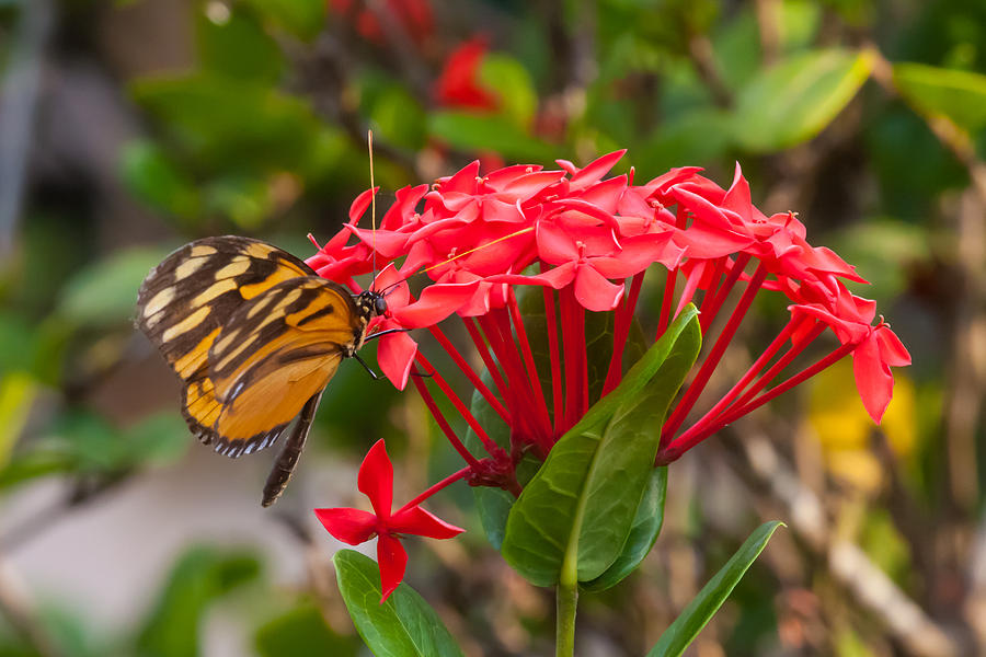 Red Photograph   Red Flowers With Butterfly By Craig Lapsley