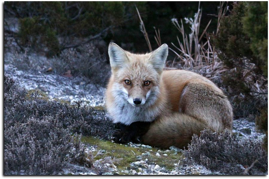 Red Fox Photograph - Red Fox by Angele Marzi
