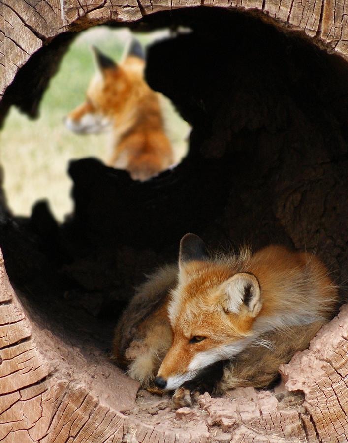 Fox Photograph - Red Fox Dreaming by Ernie Echols