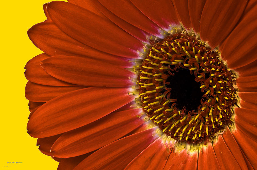 Beautiful Photograph - Red Gerber Daisy by Bob Mulligan