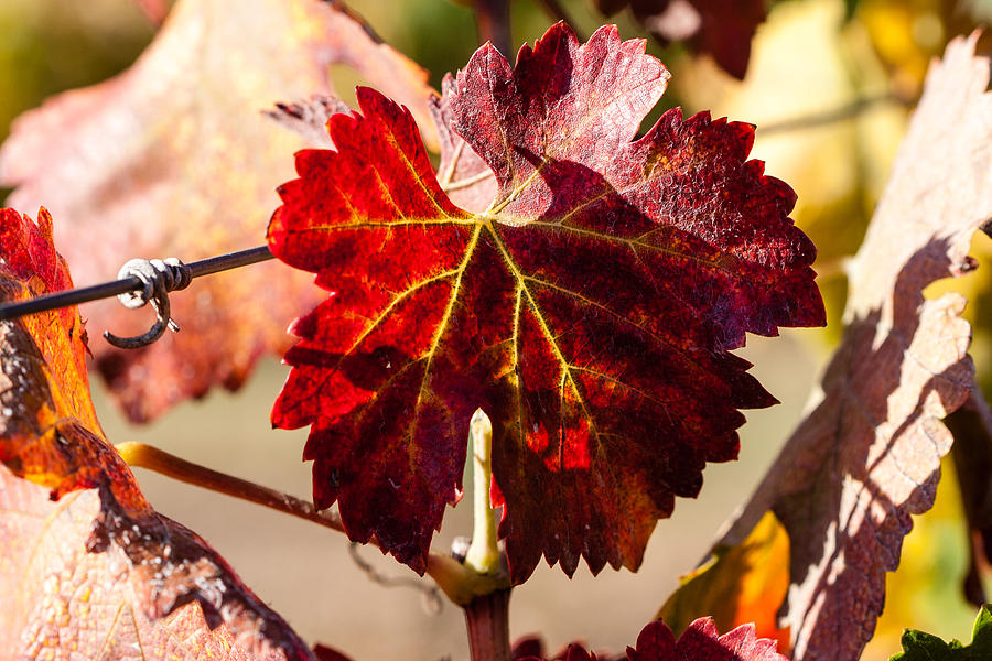 Autumn Photograph - Red Grapeleaves by Dina Calvarese
