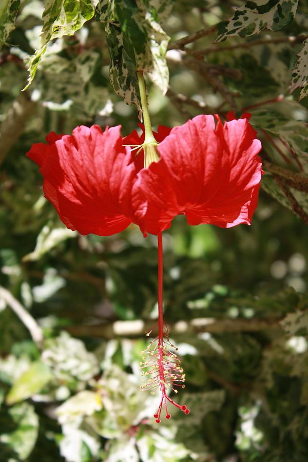 Hibiscus Photograph - Red Hibiscus by Natalija Wortman