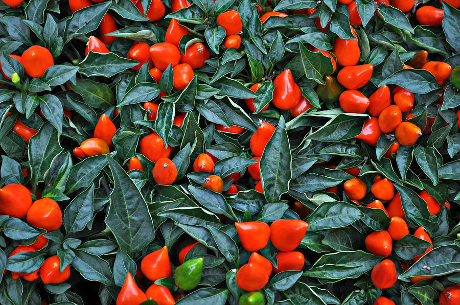 Red Photograph - Red Hots by Mary Machare