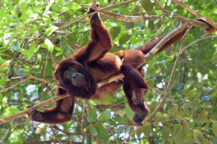 Red Howler Monkey Alouatta Seniculus Photograph By Konrad
