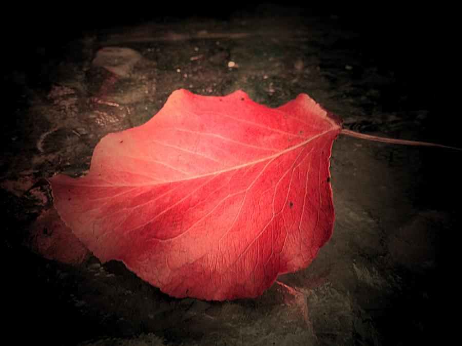 Red Leaf Photograph - Red Leaf  by Beth Akerman