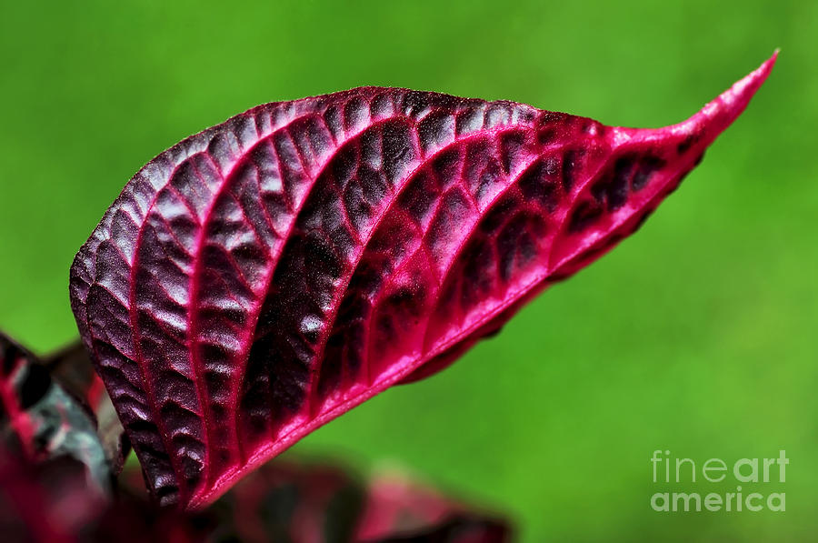 Red Leaf Photograph - Red Leaf by Kaye Menner