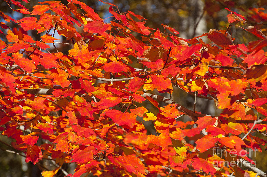 Red Leaf Photograph - Red Leaves by Charles  Ridgway