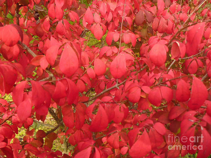 Red Leaves Photograph - Red Leaves Iv by Alys Caviness-Gober