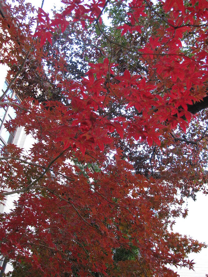Red Leaves Of Windsor Photograph by Shawn Hughes