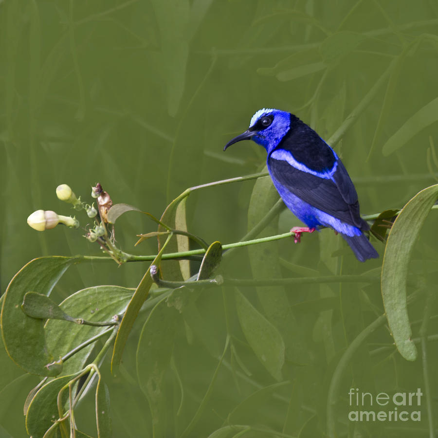 Red-legged Honeycreeper - Cyanerpes Cyaneus Photograph