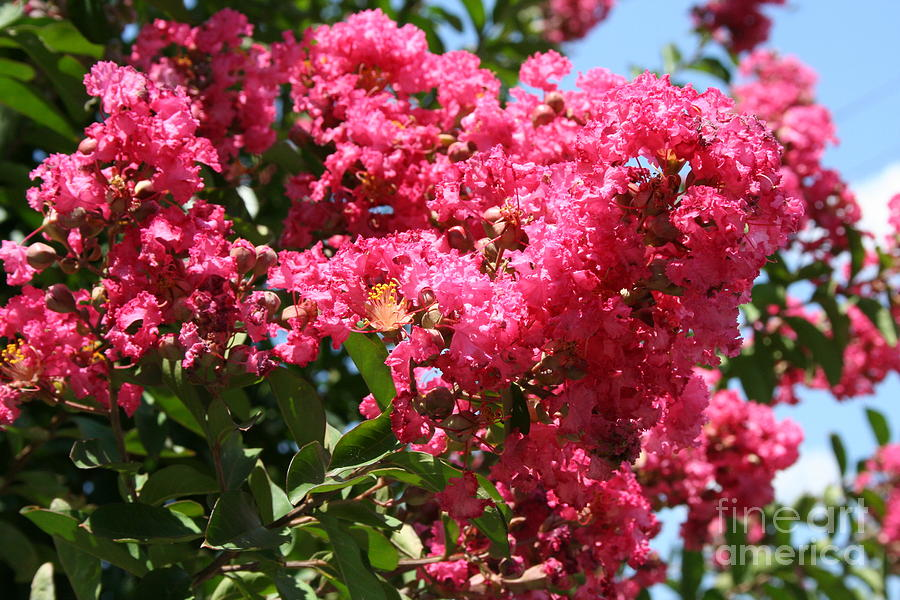 Red Lilac Bush Photograph By Michael Waters