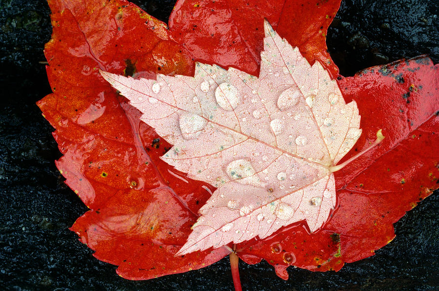 Autumn Photograph - Red Maple Leaves by Mike Grandmailson