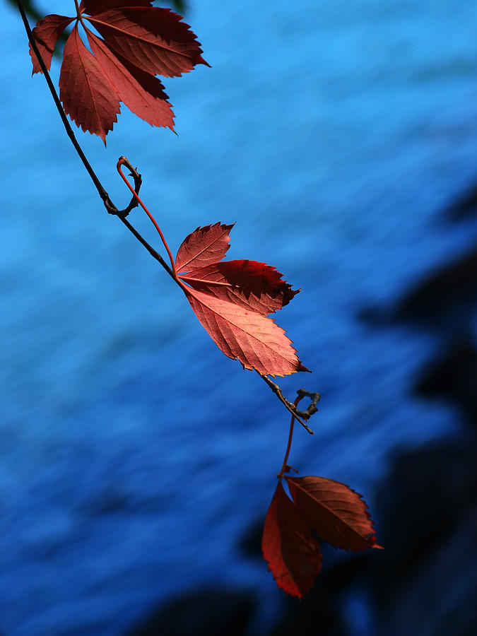 Red Photograph - Red Maple Leaves by Paul Ge