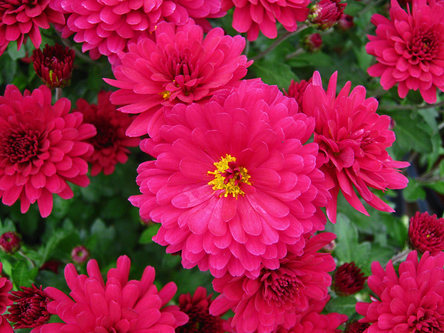 Mums Photograph - Red Mums by Lucien Beauley