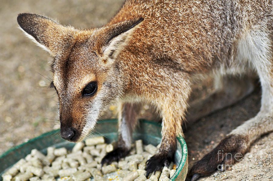Wallaby Photograph - Red-necked Wallaby by Kaye Menner