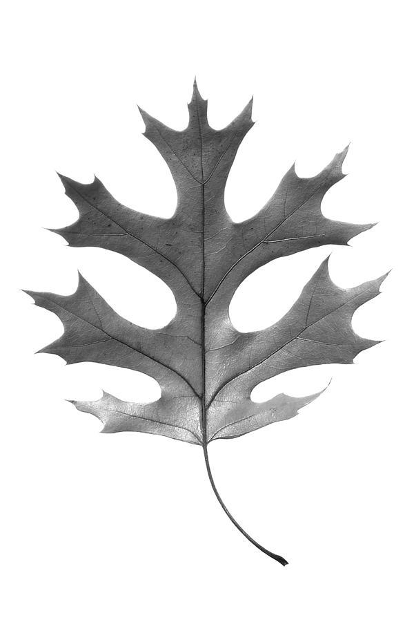 Autumn Photograph - Red Oak Leaf by Jason Smith