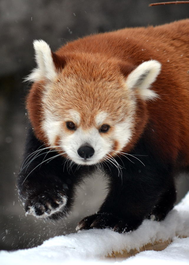 Red Panda Photograph - Red Panda by Christina Davis