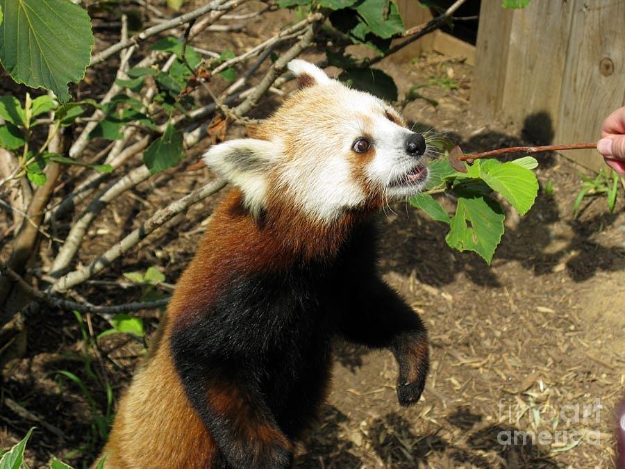 Red Panda Photograph - Red Panda Feeding Time by Ausra Huntington nee Paulauskaite
