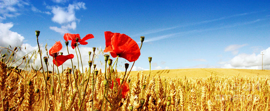 Red Poppies In Golden Wheat Field Photograph by Catherine MacBride