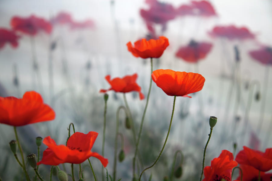 Horizontal Photograph - Red Poppies(papaver Rhoeas)  And Polytunnel by Pascal Preti