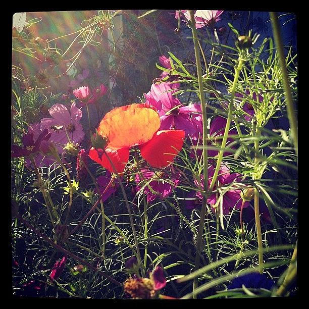 Red poppy dappled with light Photograph by Gracie Noodlestein