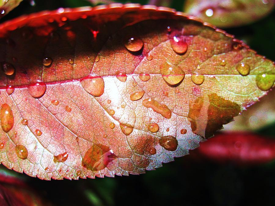 Red Leaf Photograph - Red Rain by Todd Sherlock