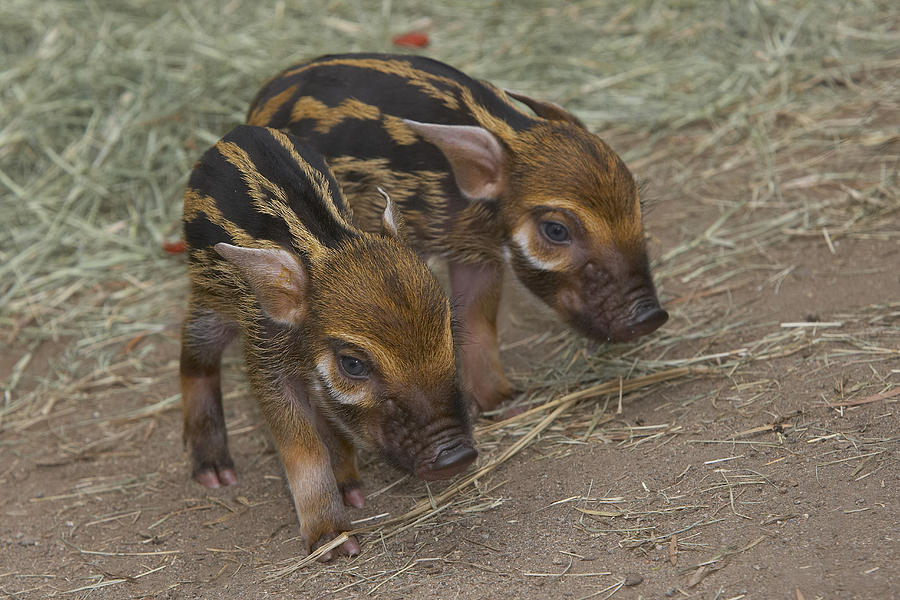 Baby Photograph - Red River Hog Potamochoerus Porcus Pair by San Diego Zoo