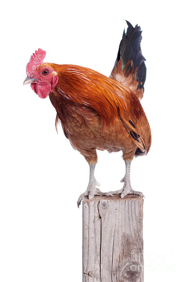 Animal Photograph - Red Rooster On Fence Post Isolated White by Cindy Singleton