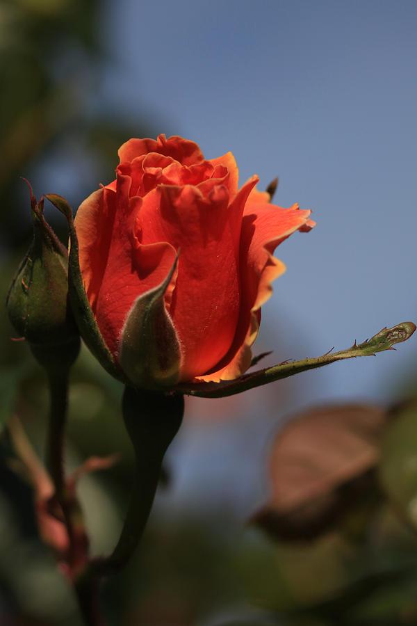 Red Rose Bud Vert Photograph