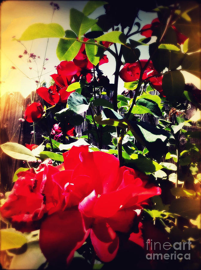 Rose Photograph - Red Roses by Leslie Hunziker