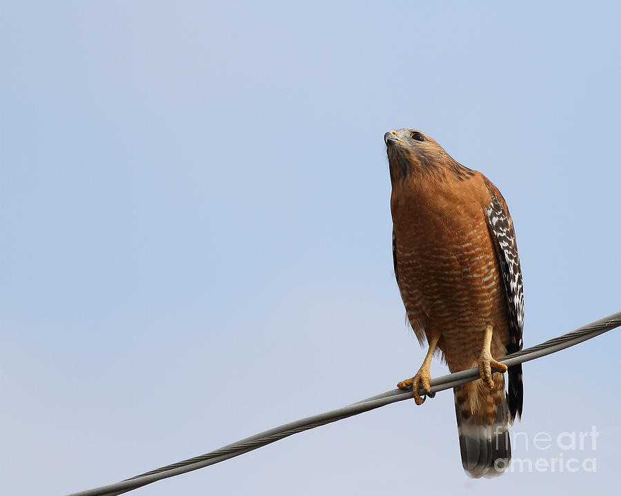 Bird Photograph - Red-shouldered Hawk . 7d10252 by Wingsdomain Art and Photography