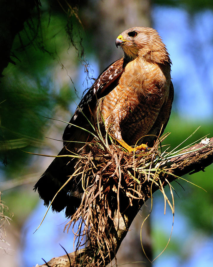 Hawk Photograph - Red-shouldered Hawk by Bill Dodsworth