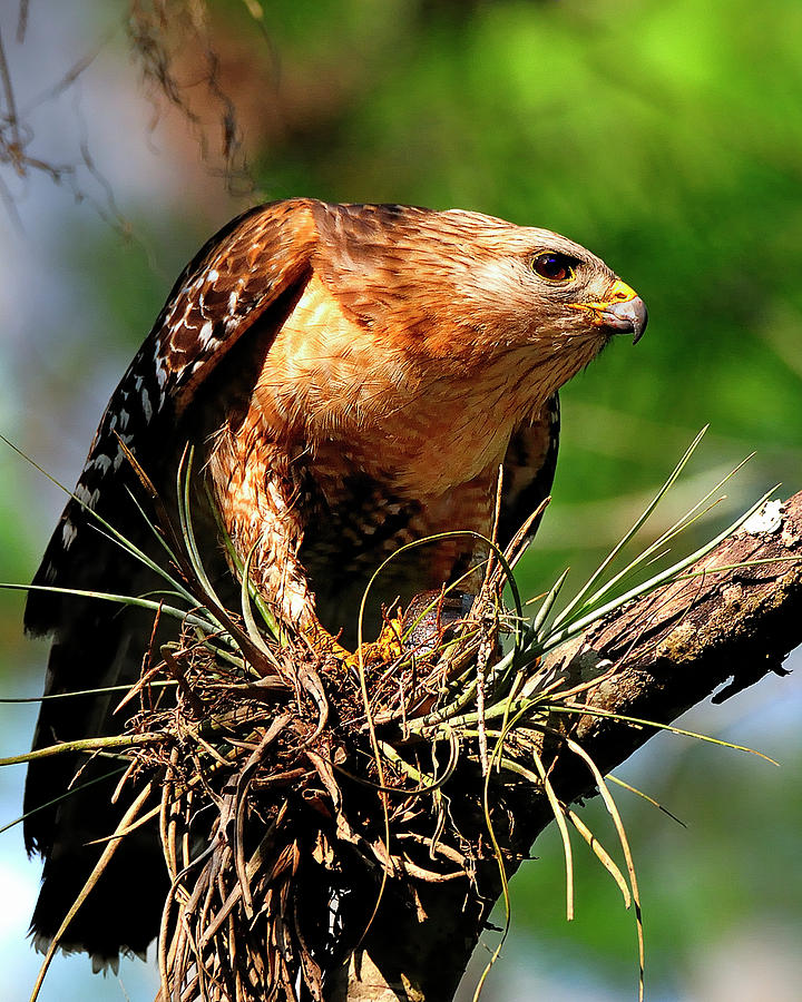 Hawk Photograph - Red-shouldered Hawk With Breakfast by Bill Dodsworth