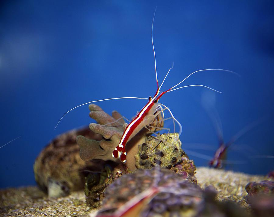 Red Photograph - Red Shrimp by Elaine Mikkelstrup