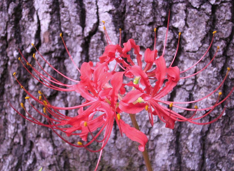 Red Spider Lily Photograph by Mary Ann Southern