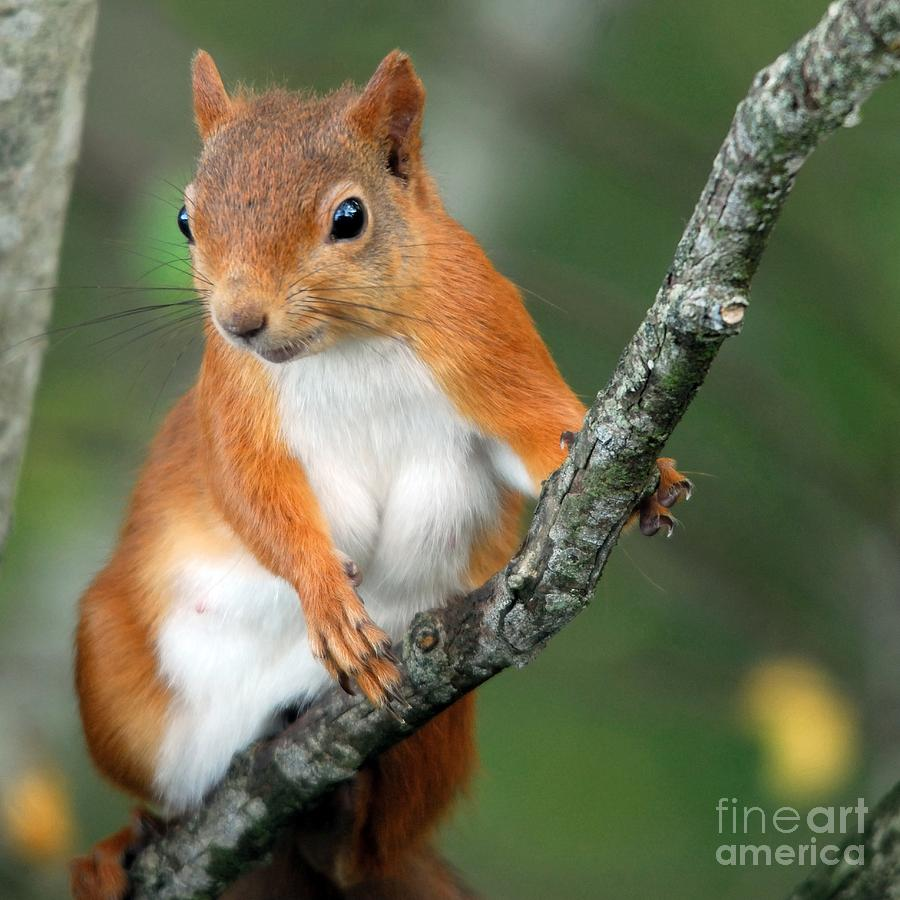 Red Squirrel Photograph - Red Squirrel Portrait by John Kelly