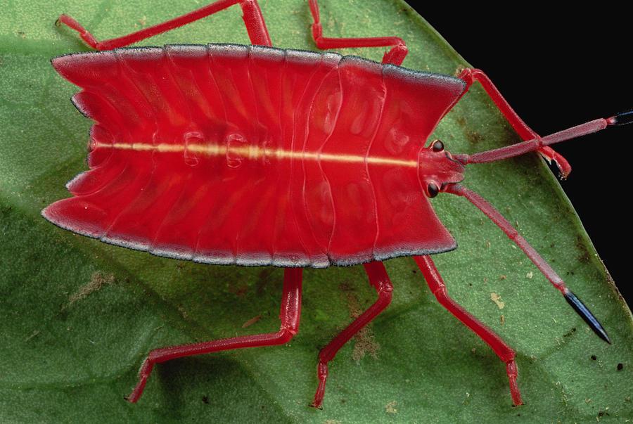 Red Stink Bug Brunei Photograph by Mark Moffett