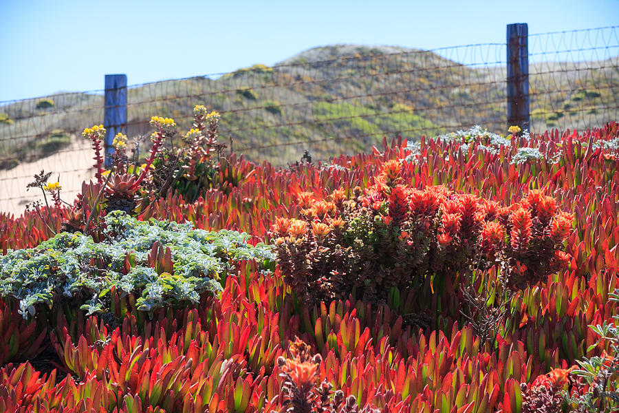red succulents photograph by dina calvarese